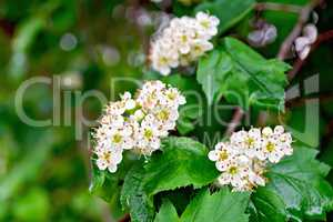 Hawthorn white flowers