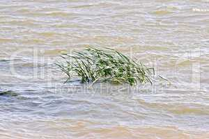 Reed in river water