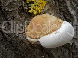 medium tree mushroom and Xanthoria parietina
