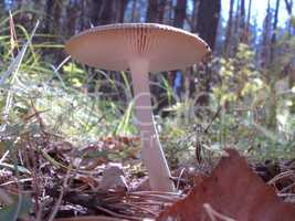 pale toadstool in nature