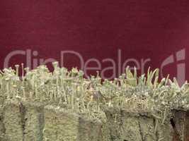 Cladonia sp. lichen on a stump