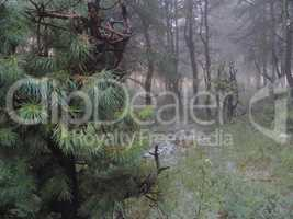 fog in the forest and low pine in the foreground plan