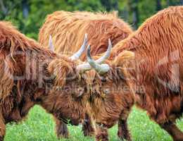 Highland cows fight