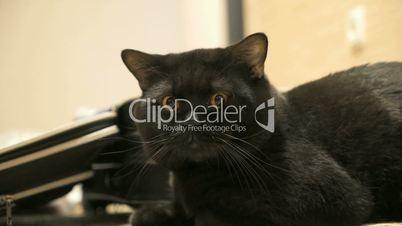 British black cat posing to the camera
