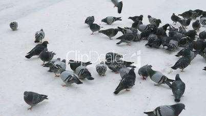 Feeding flocks of pigeons in the Park in winter