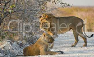 Löwen in Namibia Afrika