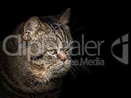 muzzle cat of the Scottish breed close-up on black