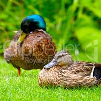 domestic duck on a background of green plants