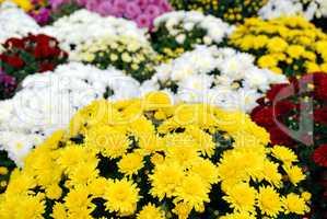 chrysanthemum flower