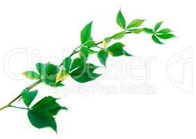 Twig of grapes leaves (Parthenocissus quinquefolia foliage)