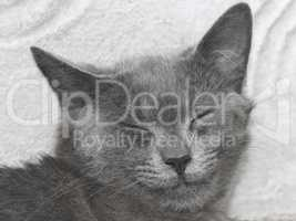 Gray British cat with closed eyes