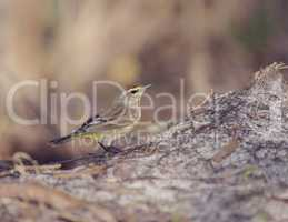 Palm Warbler Bird