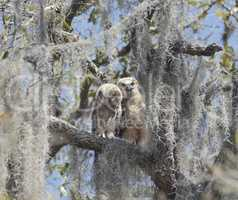 Two Young Owlets