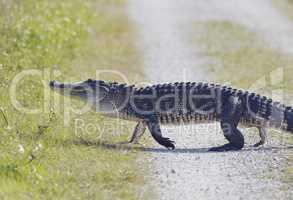 Florida Alligator Walking