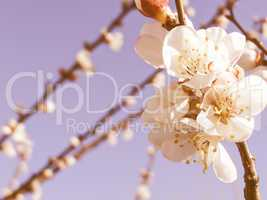 Retro looking Fruit tree flowers