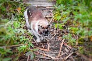 Cat Siamese outdoors