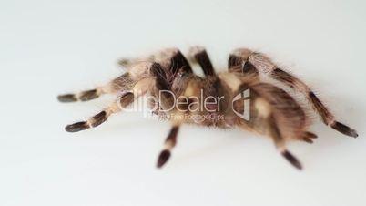 Brazilian Black And White Tarantula Nhandu coloratovillosus on white background