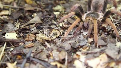 Colombian Giant Red-leg Tarantula (Megaphobema robustum)