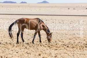 Namib-Pferd, Namib Desert Horse, Namibia,