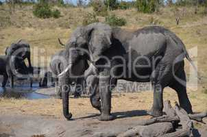 Elefanten Simbabwe (10)