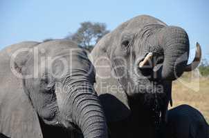 Elefanten Simbabwe (12)