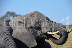 (Elefanten Simbabwe (13)