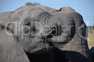 Elefanten Simbabwe (19)