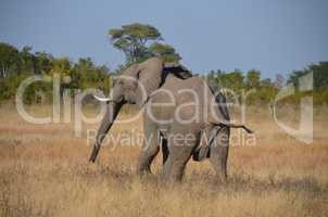 Elefanten Simbabwe (2)