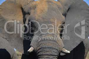 Elefanten Simbabwe (22