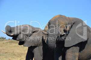 Elefanten Simbabwe (24)