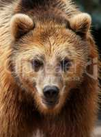 male brown bear looks to the camera in portrait