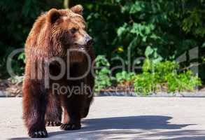 brown bear walks arround in his territory