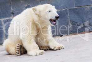young polar bear sits on the ground and eats