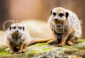 two meerkats sitting on stone and looking to the camera