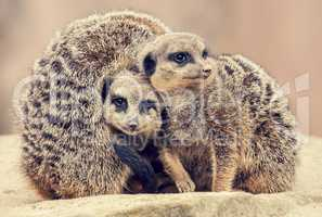 three meerkats huddle together on a stone