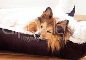 shetland sheepdog sleep in dog basket