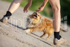 aggressive shetland sheepdog tried to bite in hands