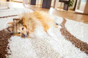 relaxed shetland sheepdog on carpet