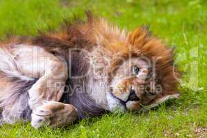 lion lies on grass and looks in the camera