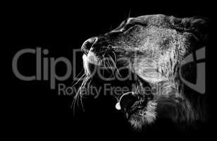 lioness roars in black and white