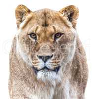 lioness isolated on white backround