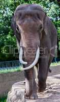 old elephant cow walks arround in compound