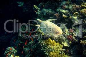 karettschildkroete schwimmt bei korallen