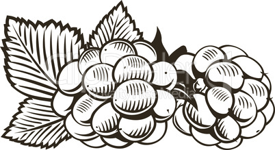 Raspberry in vintage style. Line art vector illustration.