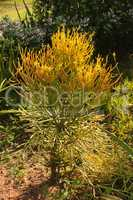 Euphorbia burmanii Succulent