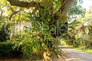 Parasite Plant on Large Tree