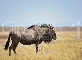 Streifengnus in Namibia Afrika