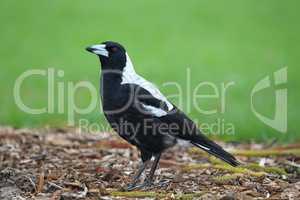 Flötenvogel (Gymnorhina tibicen)