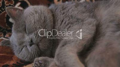 British Shorthair cat lie on the sofa