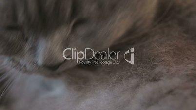 Washing British shorthair cat